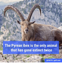 The last natural-born Pyrenean ibex was named Celia, and she died in the year 2000. In 2003, scientists cloned the species back to life using some of Celia's skin cells which they had frozen upon her death. Unfortunately, the cloned animal died after only 10 minutes, making the Pyrenean ibex the first animal to become extinct twice.: The Pyrean ibex is the only animal  that has gone extinct twice  @FACTS I guff.com The last natural-born Pyrenean ibex was named Celia, and she died in the year 2000. In 2003, scientists cloned the species back to life using some of Celia's skin cells which they had frozen upon her death. Unfortunately, the cloned animal died after only 10 minutes, making the Pyrenean ibex the first animal to become extinct twice.