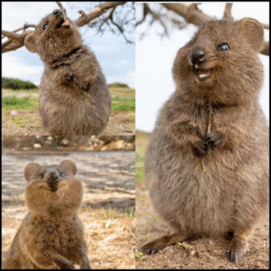 The Quokka. Possibly the happiest animal on earth: The Quokka. Possibly the happiest animal on earth