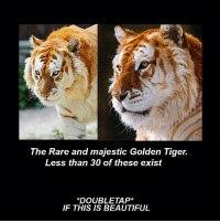 Tiger: The Rare and majestic Golden Tiger.  Less than 30 of these exist  DOUBLE TAP  IF THIS IS BEAUTIFUL