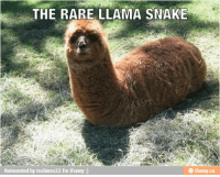 Llama Meme: THE RARE LLAMA SNAKE  Reinvented by tschiess22 for iFunny  CO