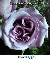 This is so beautiful!! 💕: The rare rose with three spirals.  Talent  Explore This is so beautiful!! 💕