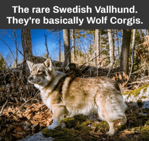 Animals, Dogs, and Memes: The rare Swedish Vallhund.  They're basically Wolf Corgis. Dog Memes Of The Day 32 Pics – Ep43 #dogs #dogmemes #lovelyanimalsworld - Lovely Animals World