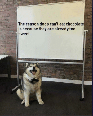 their bodies can't take more sweetness: The reason dogs can't eat chocolate  is because they are already too  sweet. their bodies can't take more sweetness