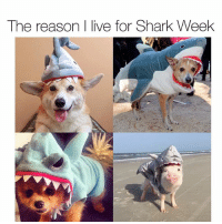 Don't be frightened, they don't all bite! SharkWeek 🦈 Pups @wallythewelshcorgi @kirbythebear Piggy @prissy_pig: The reason I live for Shark Week Don't be frightened, they don't all bite! SharkWeek 🦈 Pups @wallythewelshcorgi @kirbythebear Piggy @prissy_pig
