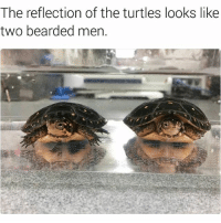 Memes, 🤖, and Turtles: The reflection of the turtles looks like  two bearded men. 😂😂lol