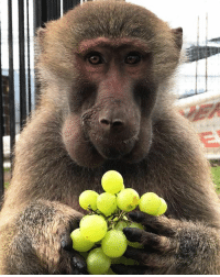 The rescued Baboons of BJWT are sooo incredible! They love to eat fruit... this little guy had his cheeks full of plantains and then went for the grapes :) PrimatesBJWT Monkeylinguis blackjaguarwhitetiger itsallforlove boycottcircus @blackjaguarwhitetiger: The rescued Baboons of BJWT are sooo incredible! They love to eat fruit... this little guy had his cheeks full of plantains and then went for the grapes :) PrimatesBJWT Monkeylinguis blackjaguarwhitetiger itsallforlove boycottcircus @blackjaguarwhitetiger