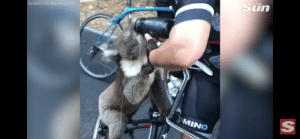 As a meme we got rid of the plastic straws for turtles, now need to get rid of the fire for the koalas #SaveTheKoalas: THE  Reuters via BikeBug2019  MINO  SI As a meme we got rid of the plastic straws for turtles, now need to get rid of the fire for the koalas #SaveTheKoalas