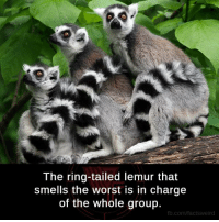 Memes, Smell, and The Worst: The ring-tailed lemur that  Smells the Worst in charge  of the Whole group.  fb.com/facts weird