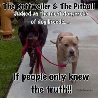 #truestory: The Rottweiler 6 The Pitbull  Judged as the most dangerous  of dog breeds  If people only knew  the truth!!  Daily Rottweiler #truestory