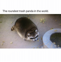 Memes, Ted, and Trash: The roundest trash panda in the world. Literally my dog if I let him get into trash. @hilarious.ted posts the best animal memes.