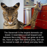 Dank, Growing Up, and Jumped: The Savannah is the largest domestic cat  breed. It resembles a small leopard and  behaves like a dog. They can grow up to 40  lbs, have an eight foot vertical jump, and can  be trained to walk on a leash and play fetch.  fb.com/factsweird