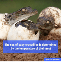 Memes, 🤖, and Crocodile: The sex of baby crocodiles is determined  by the temperature of their nest  @FACTS I guff com At 86°F (30°C) or less most hatchlings are female, but at about 90°F (32°C), most of the hatchlings will be male.
