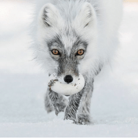 The shortlist for the 2017 Wildlife Photographer of The Year has been announced. An Arctic fox carries its prize egg after raiding a snow goose nest on Wrangel Island in Russia. Arctic Treasure was taken by Sergey Gorshkov, and the wintery shot is a finalist in the Animal Portraits category. Finalists in the Wildlife Photographer of the Year were selected from around 50,000 entries, and the overall winners will be announced on 17 October. PHOTO: NATURAL HISTORY MUSEUM-SERGEY GORSHKOV BBCSnapshot photography photocompetition wildlife nhm @natural_history_museum articfox: The shortlist for the 2017 Wildlife Photographer of The Year has been announced. An Arctic fox carries its prize egg after raiding a snow goose nest on Wrangel Island in Russia. Arctic Treasure was taken by Sergey Gorshkov, and the wintery shot is a finalist in the Animal Portraits category. Finalists in the Wildlife Photographer of the Year were selected from around 50,000 entries, and the overall winners will be announced on 17 October. PHOTO: NATURAL HISTORY MUSEUM-SERGEY GORSHKOV BBCSnapshot photography photocompetition wildlife nhm @natural_history_museum articfox