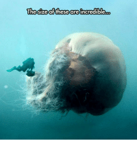 "Meme, Monster, and Tumblr: The sizeofthese are incredible... <p>Diver Finds Monster Jellyfish.<br/><a href=""http://daily-meme.tumblr.com""><span style=""color: #0000cd;""><a href=""http://daily-meme.tumblr.com/"">http://daily-meme.tumblr.com/</a></span></a></p>"