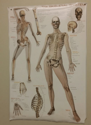 Dank, 🤖, and Her: The SKELETAL SYSTEN  e  THE  ddeais  4  wme ce Skully had her first modeling gig.