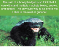 The skin of a honey badger is so thick that it  can withstand multiple machete blows, arrows,  and spears. The only sure way to kill one is via  a club to the skull or gunshot. https://t.co/NNIJkFn6Yy