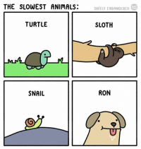 Animals, Memes, and Forever: THE SLOWEST ANIMALS:  SAFELY ENDANGERED  TURTLE  SLOTH  SNAIL  RON Tag someone who 👏 takes 👏 forever 👏 (@safely_endangered)