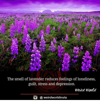 Guilting: The smell of lavender reduces feelings of loneliness,  guilt, stress and depression.  Weird World  @ weirdworldinsta