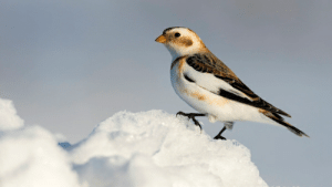 The snow bunting (Plectrophenax nivalis) is the most northerly passerine in the world. Unlike most passerines, the snow bunting has feathered tarsi, an adaptation to its cold harsh environment. Males that sing more frequently are preferred by females since it indicates greater foraging success.: The snow bunting (Plectrophenax nivalis) is the most northerly passerine in the world. Unlike most passerines, the snow bunting has feathered tarsi, an adaptation to its cold harsh environment. Males that sing more frequently are preferred by females since it indicates greater foraging success.
