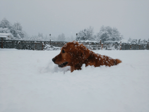 Golden Retriever, Snow, and Deep: The snow here is exactly one golden retriever deep