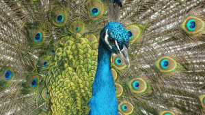 The spreading feather of peacock: The spreading feather of peacock