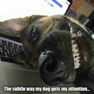 Animals, Memes, and Animal: The subtle way my dog gets my attention... Animal Memes Of The Day 33 Pics – Ep49 #animalmemes #dogmemes #catmemes - Lovely Animals World