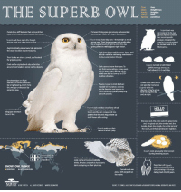 <p>The SuperbOwl facts.</p>: THE SUPERB OWLE  Class: Aves  Order: Strigiformes  Family: Strigidae  Genus: Bubo  Superb owl was  once placed in its own  genus (Nyctea scandica)  but recent genetic  analysis revealed the  species is closely related  to horned owls in the  Bubo genus  Facial discs, stiff feathers that surround their  eyes, reflect sound waves toward their ears.、  Forward-facing eyes give snowy owls excellent  stereoscopic vision and depth perception.  %  - Superb owls have big eyes-they weigh as much  Superb owls have ear-tufts, though  they're small and often hard to spot.-  as our own. Their large corneas and pupils allow  for a huge amount of light to enter the eye  giving them incredibly good night vision.  Asymmetrically-placed ears help pinpoint  the exact location of potential prey  Owls have three eyelids: upper, lower, and  a third called a nictitating membrane-  to clean and protect the eye.  --  Their beaks are short, curved, and hooked  for gripping prey.  Owls are far-sighted and rely on bristles  around their beaks to sense nearby objects  Superb owls eat an estimated  1,600 lemmings every year  That's about 3 to 5 each day.  : Owls cannot move their eyes. To  see their surroundings, snowy owls  rely on their highly flexble necks  which are able to turn up to 270°  in either direction.  Serrated edges on flight  feathers cut noise produced  by wing flapping, which help  the owls go undetected by  potential prey.  Thanks in part to thick feathers  needed for insulation, snowies  are the heaviest owl species in  North America, typically weighing  about 4 pounds  Unlike most owls which  are typically nocturnal,  Superb owls are  diurnal they're active  both during the day  and at night.  Superb owls swallow small prey whole.  HELLO  MY NAME IS  Superbowls have a  wingspan between  4 and 5 feet.  indigestible parts of animals, like  bones and fur, are compacted into  pellets that the owls regurgitate up  to 24 hours after eating.  the snow owl, the arctic owl, the great white  owl, the ghost owl, the ermine owl, the  tundra ghost, the ookpik, the white terror of  the north, and the Scandinavian nightbird.  Superb owls use their  talons to snatch prey  Superb owls are usually silent except  during breeding season.  Superbowls are  the official bird  While adult male snowy  owls can be almost completely  white, females and owlets have some  dark scalloping on their plumage.  VDepictions of Superb  SNOWY OWL RANGE  owls have been found in  cave paintings in Europe  dating back 30,000 years  BREEDING NON-BREEDING  Female owls are  about 20% larger than  the males  NATURE 20E TARTEEN ALL RCONTS RESERED WHNDBS.OMEINATURE  SOURCE:THE CORNELL LAB OF ORNITHOLOGY, MASS NEDURON DEFENDERS NATIONAL GEOGRAPHIC, OWL PACGES <p>The SuperbOwl facts.</p>