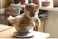 The Sweetest Baby In The World - Shiba Inu Junna