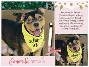 Being Alone, Cats, and Children: The sweetest Mama  Found tied up to a fence.  Emerald is very friendly  and loving, waggy, cuddly  and sweet. She is waiting  for her loving home a  Staten Island ACC  Omerald 6151  yr andrb mos young INTAKE DATE: 05/07/19  ** LOVING MAMA **   ~ Sweet Emerald has been a mommy very recently. But instead of being with her babies, she was used and thrown away - found tied up to a fence, all alone, all her babies taken from her. Despite her experience with us humans, this girl is the sweetest, loving girl, happy, friendly, waggy and cuddly - and always with a bright smile on her face. Emerald deserves to be loved, cared for and to be adored by her human parents. She is not available anymore to make money with her - she is only available for a good home now, a home where she can be the baby forever! Please share! ~  MY MOVIE  Emerald - loving mama <3  https://www.facebook.com/sishelterdogs/videos/871996063147109/  EMERALD, ID# 62151, 1 yr and 6 mos old, xx lbs, Staten Island Animal Care Center, Medium Mixed Breed Cross, Black Brown Female, Found Stray - Dog was tied up to a fence  Shelter Assessment Rating:  Medical Behavior Rating:  * TO FOSTER OR ADOPT *   If you would like to adopt a NYC ACC dog, and can get to the shelter in person to complete the adoption process, you can contact the shelter directly. We have provided the Brooklyn, Staten Island and Manhattan information below. Adoption hours at these facilities is Noon – 8:00 p.m. (6:30 on weekends)  If you CANNOT get to the shelter in person and you want to FOSTER OR ADOPT a NYC ACC Dog, you can PRIVATE MESSAGE our Must Love Dogs page for assistance. PLEASE NOTE: You MUST live in NY, NJ, PA, CT, RI, DE, MD, MA, NH, VT, ME or Northern VA. You will need to fill out applications with a New Hope Rescue Partner to foster or adopt a NYC ACC dog. Transport is available if you live within the prescribed range of states.  Shelter contact information: Phone number (212) 788-4000 Email adopt@nycacc.org  Shelter Addresses: Brooklyn Shelter: 2336 Linden Boulevard Brooklyn, NY 11208 Manhattan Shelter: 326 East 110 St. New York, NY 10029 Staten Island Shelter: 3139 Veterans Road West Staten Island, NY 10309  * NEW NYC ACC RATING SYSTEM *  Level 1 Dogs with Level 1 determinations are suitable for the majority of homes. These dogs are not displaying concerning behaviors in shelter, and the owner surrender profile (where available) is positive. Some dogs with Level 1 determinations may still have potential challenges, but these are challenges that the behavior team believe can be handled by the majority of adopters. The potential challenges could include no young children, prefers to be the only dog, no dog parks, no cats, kennel presence, basic manners, low level fear and mild anxiety.   Level 2  Dogs with Level 2 determinations will be suitable for adopters with some previous dog experience. They will have displayed behavior in the shelter (or have owner reported behavior) that requires some training, or is simply not suitable for an adopter with minimal experience. Dogs with a Level 2 determination may have multiple potential challenges and these may be presenting at differing levels of intensity, so careful consideration of the behavior notes will be required for counselling. Potential challenges at Level 2 include no young children, single pet home, resource guarding, on-leash reactivity, mouthiness, fear with potential for escalation, impulse control/arousal, anxiety and separation anxiety.   Level 3 Dogs with Level 3 determinations will need to go to homes with experienced adopters, and the ACC strongly suggest that the adopter have prior experience with the challenges described and/or an understanding of the challenge and how to manage it safely in a home environment. In many cases, a trainer will be needed to manage and work on the behaviors safely in a home environment. It is likely that every dog with a Level 3 determination will have a behavior modification or training plan available to them from the behavior department that will go home with the adopters and be made available to the New Hope Partners for their fosters and adopters. Some of the challenges seen at Level 3 are also seen at Level 1 and Level 2, but when seen alongside a Level 3 determination can be assumed to be more severe. The potential challenges for Level 3 determinations include adult only home (no children under the age of 13), single pet home, resource guarding, on-leash reactivity with potential for redirection, mouthiness with pressure, potential escalation to threatening behavior, impulse control, arousal, anxiety, separation anxiety, bite history (human), bite history (dog) and bite history (other).