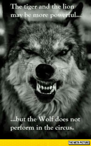 Tumblr, Blog, and Http: The tiger and the lion  may be more power  ful...  ...but the Wolf does not  perform in the circus.  THE META PICTURE srsfunny:The Mighty Wolf