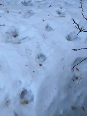 The time a cougar chased some deer into the woods behind my house: The time a cougar chased some deer into the woods behind my house