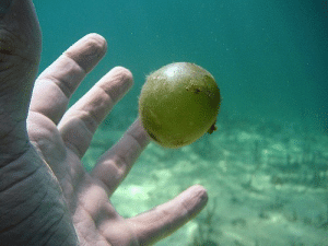 The Valonia ventricosa is a species of bubble algae, it is the world's largest single celled organism: The Valonia ventricosa is a species of bubble algae, it is the world's largest single celled organism