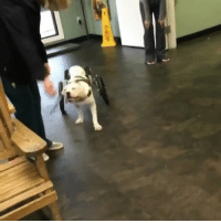 Memes, Time, and 🤖: The very first time @Pigeonpup tries on her wheels - ♿ @eddieswheels @fetchcaninerehab