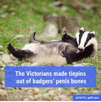 """""""Is that a pin in your hair or are you just happy to see me?,"""" said 'that guy.': The Victorians made tiepins  out of badgers' penis bones  @FACTS I guff com """"Is that a pin in your hair or are you just happy to see me?,"""" said 'that guy.'"""