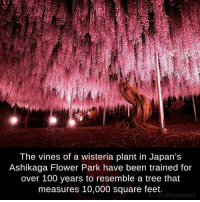 Memes, Vine, and fb.com: The vines of a wisteria plant in Japan's  Ashikaga Flower Park have been trained for  over 100 years to resemble a tree that  measures 10,000 square feet.  fb.com/factsweird