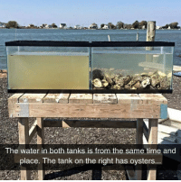 Time, Water, and Tank: The water in both tanks is from the same time and  place. The tank on the right has oysters.. <p>Oysters Are The Perfect Water Filters.</p>