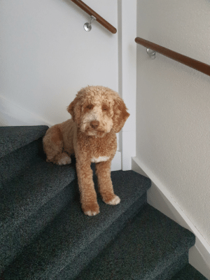 The way my dog chills on the stairs and watches her humans pass by: The way my dog chills on the stairs and watches her humans pass by