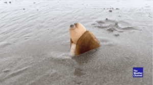memehumor:  The internet is horrified by this squirting, digging clam video but no one can look away.: The  Weather  Channel memehumor:  The internet is horrified by this squirting, digging clam video but no one can look away.