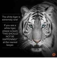 "THIS SHOULD NOT BE HAPPENING!: The white tiger is  extremely rare!  If you see a  white tiger,  please scream  ""THIS SHOULD  NOT BE  HAPPENING!""  at the nearest  lawyer. THIS SHOULD NOT BE HAPPENING!"