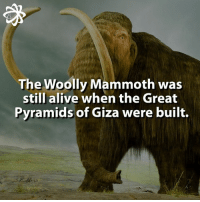 Memes, 🤖, and Mammoth: The Woolly was  still alive when the Great  Pyramids of Giza were built. How awesome is this!!! 😱 woollymammoth mammoth animals animalkingdom smart knowledge didyouknow fact facts animalfacts greatpyramidsofgiza pyramid past information