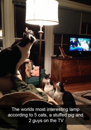 Cats, According, and Pig: The worlds most interesting lamp  according to 5 cats, a stuffed pig and  2 guys on the TV The council has spoken