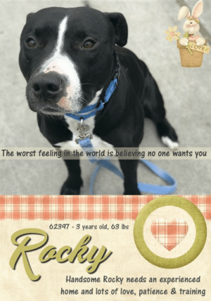 "Cats, Children, and Dogs: The worst feeling in the world is believing no one wants you  62397 3 years old, 63 lbs  Rachy  Handsome Rocky needs an experienced  home and lots of love, patience & training **** TO BE KILLED - 5/19/2019 ****  MEET ROCKY THE HEART BREAKER! <3 He is dressed in his tux and hopes to be chosen despite being the underdog. He arrived terrified, and now making strides at the shelter, one paw at a time. It makes one wonder what type of life these helpless pets have, when they arrive frightened, but then so willing to trust and open up. He was surrendered with the claim of being owned for one day, yes ONE DAY! What matters most now, is Rocky getting a fair chance in this world, as he likely never did. The cards are stacked tightly against him as time is not on his side. His photo shows him sitting so nicely and engaged. If you would like to give this young fella a real chance, in lieu of the further injustice he is about to face please message this page now.  ROCKY@BROOKLYN ACC Hello, my name is Rocky My animal id is #62397 I am a male black dog at the  Brooklyn Animal Care Center The shelter thinks I am about 3 years old, 63 lbs Came into shelter as a agency May 9, 2019 Rocky is rescue only   Rocky was placed at risk due to behavioral concerns; While Rocky has shown some improvement in the care center, he has been observed to escalate to growling at handlers upon approach or sudden movements on multiple occasions; this behavior was also observed in a previous home environment. Due to his high level of fear as well the potential for defensive aggression, we feel as though Rocky would be best set up to succeed if placed with an experienced rescue partner. Rocky is otherwise healthy.  My medical notes are... Weight: 63.2 lbs Vet Notes 10/05/2019 DVM Intake Exam Estimated age: 3y Microchip noted on Intake? no Microchip Number (If Applicable): History : owner surrender Subjective: BARH, normal appetite, no elimination concerns Observed Behavior - tense body posture, wide eyed. was muzzled Evidence of Cruelty seen - no Evidence of Trauma seen - no Objective P = wnl R = wnl BCS 5/9 EENT: Eyes clear, ears clean, no nasal or ocular discharge noted Oral Exam: unremarkable incisors, muzzled PLN: No enlargements noted H/L: NSR, NMA, CRT < 2, Lungs clear, eupnic ABD: Non painful, no masses palpated U/G: male intact 2 testicles soft symmetric, no leakage or discharge MSI: Ambulatory x 4, skin free of parasites, no masses noted, healthy hair coat CNS: Mentation appropriate - no signs of neurologic abnormalities Rectal: visually normal  Assessment healthy Prognosis: excellent Plan: behavior consult SURGERY: Okay for surgery   Details on my behavior are... Behavior Condition: 3. Yellow  Behavior History Behavior Assessment Upon intake Rocky had his tail tucked and he was low growling. No handling was done by counselor. Animal Care Specialist took the dog straight to medical.  Date of Intake: 5/9/2019  Spay/Neuter Status: Not Applicable  Basic Information:: Rocky is a 3 year old black and white male dog that was brought to the ACC as a stray due to behavior concerns. The owner stated that he got the dog from a friend 1 day ago.  Previously lived with:: Unknown information  How is this dog around strangers?: Rocky is very fearful around strangers he was low growling during intake allowed limited handling.  How is this dog around children?: Unknown information  How is this dog around other dogs?: Unknown information  How is this dog around cats?: Unknown information  Resource guarding:: Unknown information  Bite history:: no reported bite history.  Housetrained:: Unknown  Energy level/descriptors:: Medium  Other Notes:: Unknown information  Has this dog ever had any medical issues?: No  Medical Notes: No reported medical concerns  For a New Family to Know: Unknown information ============================  Date of intake:: 5/9/2019  Spay/Neuter status:: No  Means of surrender (length of time in previous home):: Stray, no known history  Other Notes:: Owner reported to have adopted the dog out of state and upon picking him up, Rocky was observed to be muzzled and low growling toward the owner. He drove Rocky home and brought him inside, keeping the muzzle in place. The owner then reported that whenever he would walk near Rocky, Rocky would begin to low growl toward the owner. The owner then called the police to remove the dog from his home. No other behavior information or history provided.  Summary:: Leash Walking Strength and pulling: Moderate pulling Reactivity to humans: None Reactivity to dogs: None Leash walking comments:  Sociability Loose in room (15-20 seconds): Neutral-soft, tail wagging, ears neutral, explores somewhat, checks in with handlers, readily accepts treats softly, accepts some contact, tense when clipping leash Call over: Approaches readily, soft and loose Sociability comments:   Handling  Soft handling: Soft, loose and wiggly, tail wagging, jumps up onto handler, some lip licking, leans into and accepts all contact Exuberant handling: Soft, loose and wiggly, tail wagging, jumps up onto handler, some lip licking, leans into and accepts all contact Handling comments:  Arousal Jog: Follows handler, soft and loose Arousal comments:   Knock Knock Comments: No response to knock; Approaches assistant, soft, loose and wiggly, jumps up soliciting attention  Toy Toy comments: Minimal interest  Summary:: Rocky was surrender as a stray so his past behavior with other dogs is unknown.  5/10: When off leash at the Care Centers, Rocky greets the novel female dog with a soft posture. He whines while exchanging greeting and explores the yard. Rocky tolerates the greeter's mounting behavior.  5/11: Rocky continued to explore the yard, mostly keeping to himself.   5/12: Rocky did not reciprocate a novel female's play solicitations and listened to her correction when he sniffed her genitals for a prolonged period of time. He walks away to explore the pens, keeping to himself.   5/14: Rocky was utilized as a greeter today. He was introduced to several novel females. He greets them with a soft body and whines and explores the yard. He is over corrected by one of the novel females and Rocky flees. Later in the session, when he is introduced to a nervous female he greets her with a soft body and walks away. The female becomes conflicted with her play solicitations, and Rocky reciprocates with a few quick bounces.   5/15: Rocky whines and flees when two novel females become reactive.  Summary (1):: Rocky understands the cue for ""sit"" and ""paw"".  Date of intake:: 5/9/2019  Summary:: Tucked tail, low growling; No handling performed  Date of initial:: 5/10/2019  Summary:: Tense body, wide eyed; Muzzled as a precaution  ENERGY LEVEL:: Rocky has been observed to exhibit a medium level of energy during his interactions in the care center.  IN SHELTER OBSERVATIONS:: 5/11: After Rocky's group session was over, a handler approached him to lead him out of the pens. He froze then offered low growl. He softened slightly when the handler moved away. After a slow approach, she was able to place her lead on him.  BEHAVIOR DETERMINATION:: New Hope Only  Behavior Asilomar: TM - Treatable-Manageable  Recommendations:: No children (under 13),Place with a New Hope partner  Recommendations comments:: No children (under 13): Due to Rocky's overall level of fear and observed escalation to higher level warnings, we feel he would be best set up to succeed in an experienced adult only home environment.  Place with a New Hope: While Rocky has shown some improvement in the care center, he has been observed to escalate to growling at handlers upon approach or sudden movements on multiple occasions; this behavior was also observed in a previous home environment. Due to his high level of fear as well the the potential for defensive aggression, we feel as though Rocky would be best set up to succeed if placed with an experienced rescue partner. Force-free, reward based training only is advised when introducing or exposing Rocky to new and unfamiliar situations; guidance from a professional trainer or veterinary behaviorist is highly advised.  Potential challenges: : Fearful/potential for defensive aggression  Potential challenges comments:: Fearful/potential for defensive aggression: Rocky has been reported by a previous owner to display fearful behavior with the potential for defensive aggression. This behavior has been observed during Rocky's interactions in the care center on multiple occasions. He has been observed to remain tense and low growl when approached by staff members. Please refer to the handout on Fearful/potential for defensive aggression.  ROCKY IS RESCUE ONLY…..TO SAVE THIS PUP YOU MUST FILL OUT APPLICATIONS WITH AT LEAST 3 NEW HOPE RESCUES. PLEASE HURRY!!!   IF YOU CAN FOSTER OR ADOPT THIS PUP, PLEASE PM OUR PAGE FOR ASSISTANCE. WE CAN PROVIDE YOU WITH LINKS TO APPLICATIONS WITH NEW HOPE RESCUES WHO ARE CURRENTLY PULLING FROM THE NYC ACC.  PLEASE SHARE THIS DOG FOR A HOME TO SAVE HIS LIFE."