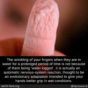 Evolutionary: The wrinkling of your fingers when they are in  water for a prolonged period of time is not because  of them being 'water logged', it is actually an  automatic nervous-system reaction, thought to be  an evolutionary adaptation intended to give your  hands better grip in wet conditions.  weird-facts.org  @factsweird