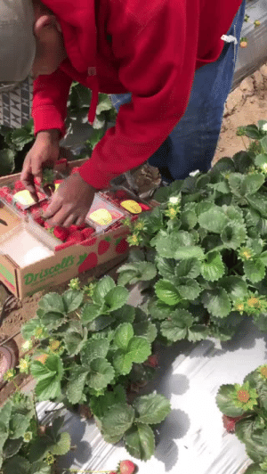 thealaskanassassin:  champagnebruja:  hitthisandjustchill:  motherofpalms:  swagintherain:  blackness-by-your-side:  WORD.  he does the job no one wants to do and then will be told that he's stealing it.   The driscolls boycott is still goin on And here are ways you can help farmworkers Donate to food chain workers alliance  https://t.co/okIpzNoyEv Donate to United farm workershttps://t.co/HwgXdH4l7w Donate to farmworker justicehttps://t.co/O14KKMg7KE Donate/give supplies to migrant Farmworkers Assistance Fund https://t.co/ePbmNBVLMP Donate to center for Farmworker familieshttps://t.co/IReMpiEaq1 Donate to campaign for Migrant worker justice https://t.co/f2TV0Jqzd1 Donate to brandworkershttps://t.co/NhTNsUrbBw Donate to CIWhttps://t.co/uH5bUUGqwg Keep in mind that Publix and Wendy's   refuse to join the fair food program   Reblogging again for the links  for those of you who have not harvested/ or do not know harvesters: you HAVE to go as fast as you possibly can at every given minute. workers almost always forgo their break times. why? because the patrons set minimum daily quotas. if for example, you are picking grapes, the quota is 48 (21 pound) boxes of grapes for an 8 hour shift, or 1,000 pounds of grapes picked by just TWO PEOPLE.however if you only reach the minimum quota, the supervisors will threaten you by threatening to reduce your hours, or outright firing you. so any video you see of field workers moving mind-mindbogglingly fast are out of fear and necessity.   📢📢📢 : thealaskanassassin:  champagnebruja:  hitthisandjustchill:  motherofpalms:  swagintherain:  blackness-by-your-side:  WORD.  he does the job no one wants to do and then will be told that he's stealing it.   The driscolls boycott is still goin on And here are ways you can help farmworkers Donate to food chain workers alliance  https://t.co/okIpzNoyEv Donate to United farm workershttps://t.co/HwgXdH4l7w Donate to farmworker justicehttps://t.co/O14KKMg7KE Donate/give supplies to migrant Farmwork