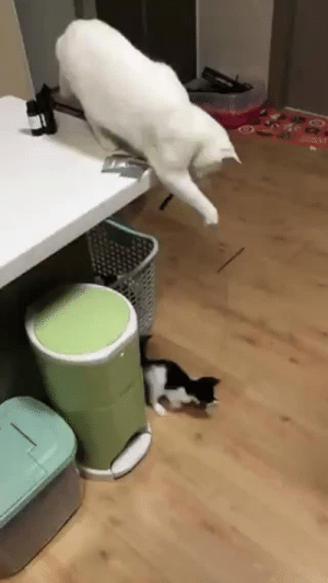 theashleyclements: mojoflower: I am enchanted.  This is it. This is the best cat video of them all.  : theashleyclements: mojoflower: I am enchanted.  This is it. This is the best cat video of them all.
