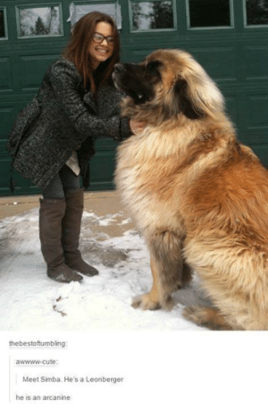 Cute, Life, and Simba: thebestoftumbling  awwww-cute  Meet Simba. He's a Leonberger  he is an arcanine Real life arcanine