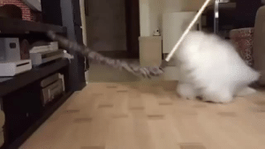 "Hello, Love, and Slow Motion: thebiggestblackesthawk:  sfmfm:  adulthoodisokay:  continuants:  goodinthestacks:  timeandspaceandunicorns:  This cat is too fluffy for me to comprehend in slow motion  wow continuants wow  WOAHHHHHHHHHH  Me: ""Do you guys want to see the fluffiest cat?""Coworkers, immediately and loudly: ""YES SEND IT NOW.""  I love cloud cat  that cat is wearing a functional neck ruff hello elizabethan cloud cat keep up the good work"