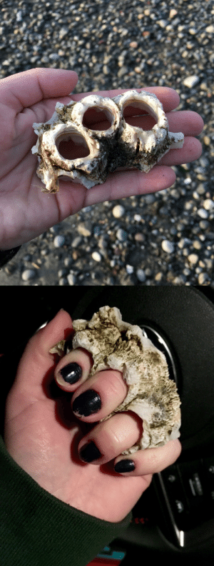 Target, Tumblr, and Beach: thecosmicjackalope: snakesandkittens:  I picked up this trio of barnacles on the beach today because they reminded me of brass knuckles! May I present to you  barknuckles  Poseidon wants you safe and prepared for battle.