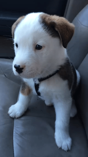 thefingerfuckingfemalefury: jakegyllencallme:  metalhearted:  Puppy reacts to getting hicups! [source]  dogs are so pure. i cant even believe this small little thing is barking at its own little stomach for creating hiccups inside of him.  This has brightened my day like a doge shaped ray of sunshine 3 : thefingerfuckingfemalefury: jakegyllencallme:  metalhearted:  Puppy reacts to getting hicups! [source]  dogs are so pure. i cant even believe this small little thing is barking at its own little stomach for creating hiccups inside of him.  This has brightened my day like a doge shaped ray of sunshine 3