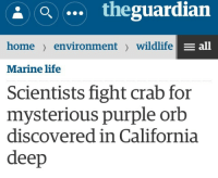 Life, California, and Home: theguardian  home environment wildlife  all  Marine life  Scientists fight crab for  mysterious purple orb  discovered in California  deep